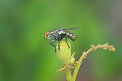 Fly on the longan fruit Royalty Free Stock Photography