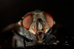 Fly looking at the camera. Macro fly - extreme close-up stock image