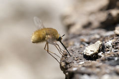 Fly looks for food. Macroshooting Royalty Free Stock Image