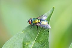 Fly, Lucilia caesar on a green leaf. With green background Royalty Free Stock Photos