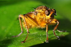 Fly macro. Macro view of a golden colored fly (Scathophaga Stercoraria), on a leaf royalty free stock photography
