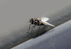 Fly Macro Stock Photography