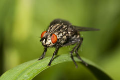 Fly macro. Royalty Free Stock Photography