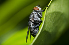 Fly macro Royalty Free Stock Photos