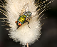 Fly  macro. Blow fly on a plant macro Royalty Free Stock Photo