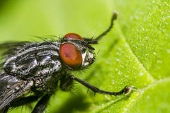Fly Macro Stock Images