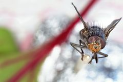 Fly macro Royalty Free Stock Photo