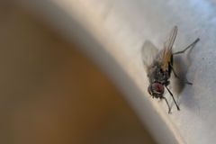 Fly macro while eating Royalty Free Stock Photo
