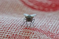 Fly macro while eating Royalty Free Stock Images