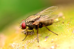 Fly macro focus with soft background Stock Photography