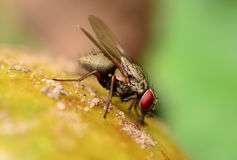 Fly macro Royalty Free Stock Images