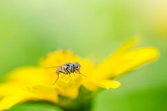 Fly macro in green nature Royalty Free Stock Image