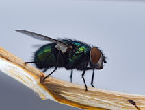 Fly macro. Fly insect green and blue Royalty Free Stock Photo