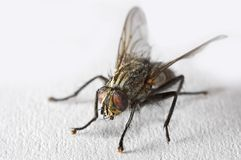 Fly in macro mode Stock Images