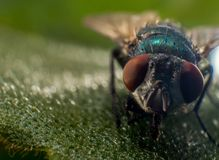 Fly, Macro, Nature, Insect, Close Stock Photography
