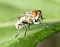 Fly. macro Stock Photography