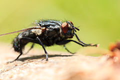 Fly macro. Photography. Insect close up shot, nature background Stock Images