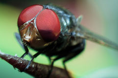 Fly, macro shot. Macro shot of a fly Stock Photography