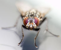 Fly insect Royalty Free Stock Photos