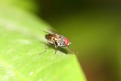 Fly macro Stock Photography