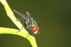 Fly macro Stock Image