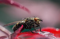 Fly. Macro shot of fly sitting on red leaf Royalty Free Stock Photo