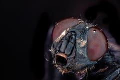 Fly 5x Magnification. Facet eyes closeup macro stock image