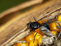 Fly on maize Stock Image