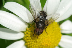 Fly on the marguerite Stock Images
