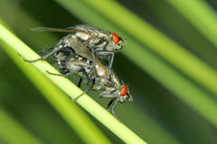 Fly mating. On grass stem stock photography