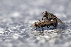 Fly Mating Stock Photos