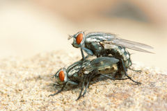 Fly mating. A pair of fly are mating stock image