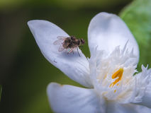 Fly mating on flower. Close up of fly mating on white flower petals Royalty Free Stock Photography