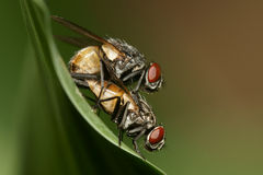 Fly mating macro Royalty Free Stock Photos