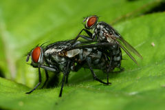Fly mating macro Stock Images