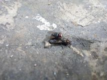 The Fly is Mating. Morning fad, accidentally see the flies being mated royalty free stock photography