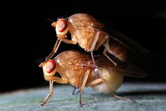 Fly mating Royalty Free Stock Images