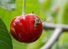 Fly on cherry. Fly on a mature, red cherry Royalty Free Stock Image