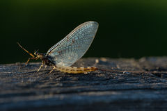 Fly mayfly