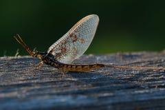 Fly mayfly Royalty Free Stock Photo