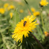 Fly in the meadow Royalty Free Stock Images