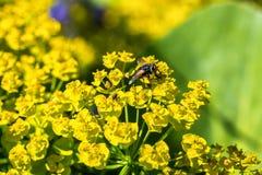 Fly on milkweed. Fly on yellow flowers milkweed, summer garden royalty free stock photography