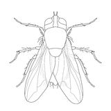 Fly. Musca domestica Insect. a realistic fly Stock Image