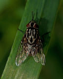 Fly Muscidae graphomya maculata Stock Images