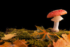 Fly mushroom moss and autumn leaf Royalty Free Stock Image