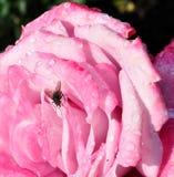 Fly nestled on Rose Royalty Free Stock Photos