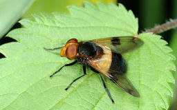 Fly on nettle leaf Stock Photo