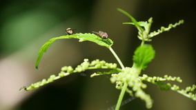 Fly on the Nettle Leaf stock footage