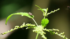 Fly on the Nettle Leaf stock video