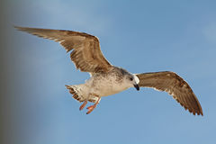 Fly and observe. The seagull looks down attentively Royalty Free Stock Photos